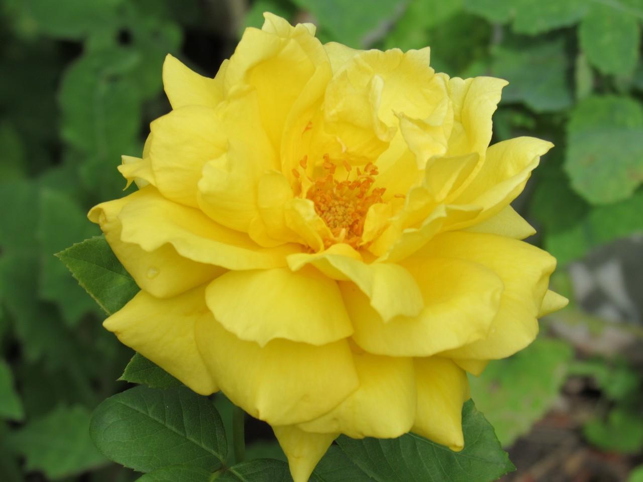 rose_img_6403-1280