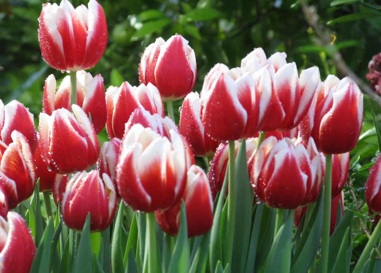 тюльпаны_1